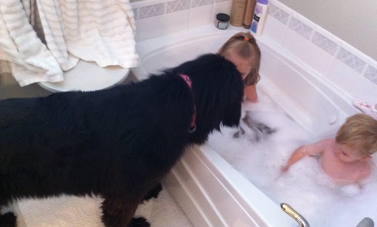 Newfoundland Dog Protecting Kids in Water